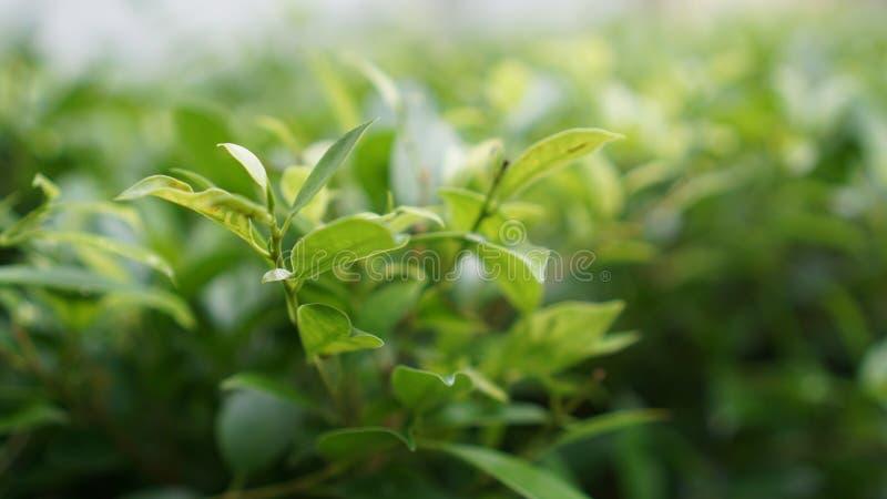 πράσινος βγάζει φύλλα στοκ εικόνα