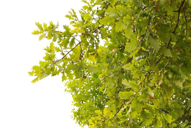 Πράσινος δρύινος κλάδος με τα βελανίδια Απομονωμένη άσπρη ανασκόπηση στοκ εικόνα με δικαίωμα ελεύθερης χρήσης