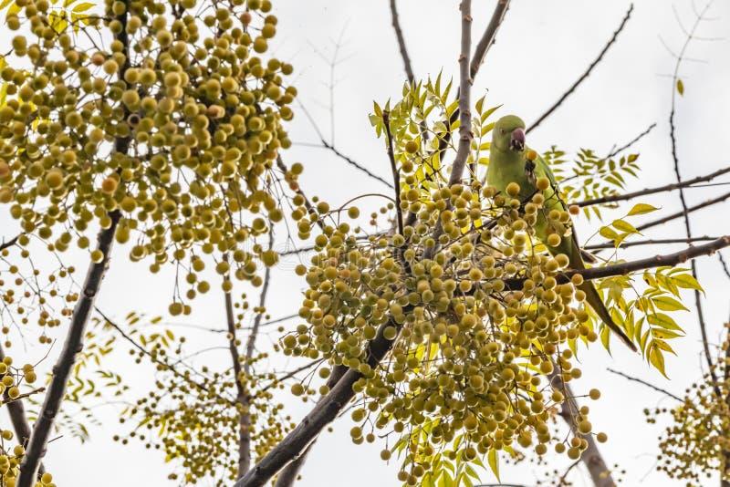 Πράσινος επενδυμένος με φτερά παπαγάλος στον κλάδο δέντρων στοκ φωτογραφία με δικαίωμα ελεύθερης χρήσης