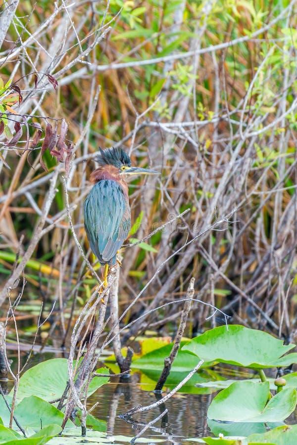 Πράσινος ερωδιός Ίχνος Anhinga Εθνικό πάρκο Everglades Φλώριδα o στοκ φωτογραφία με δικαίωμα ελεύθερης χρήσης
