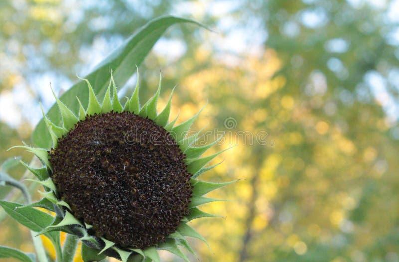 Πράσινος ηλίανθος σε ένα πρωί Οκτωβρίου στοκ εικόνες