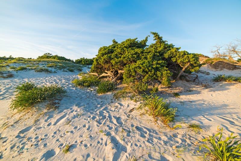 Πράσινος θάμνος στον αμμόλοφο άμμου στο ηλιοβασίλεμα στοκ εικόνες