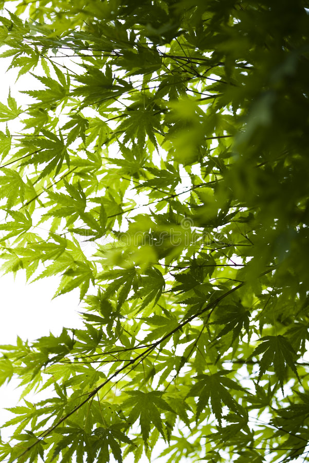 πράσινος ιαπωνικός σφένδα&mu στοκ εικόνες