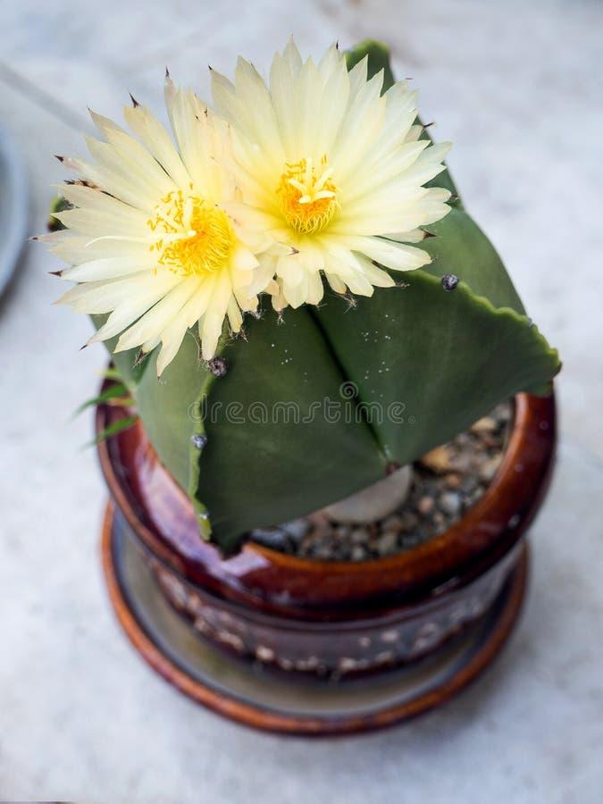 Πράσινος κάκτος με τα άσπρα λουλούδια στοκ φωτογραφία με δικαίωμα ελεύθερης χρήσης