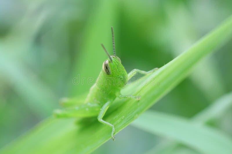 Πράσινος κάνθαρος στοκ εικόνες με δικαίωμα ελεύθερης χρήσης