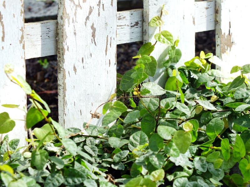 Πράσινος κισσός και ξύλινο υπόβαθρο φύσης σύστασης στοκ φωτογραφία με δικαίωμα ελεύθερης χρήσης