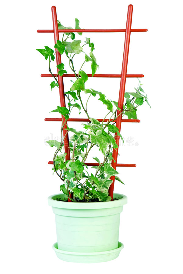 πράσινος κισσός στοκ εικόνα με δικαίωμα ελεύθερης χρήσης