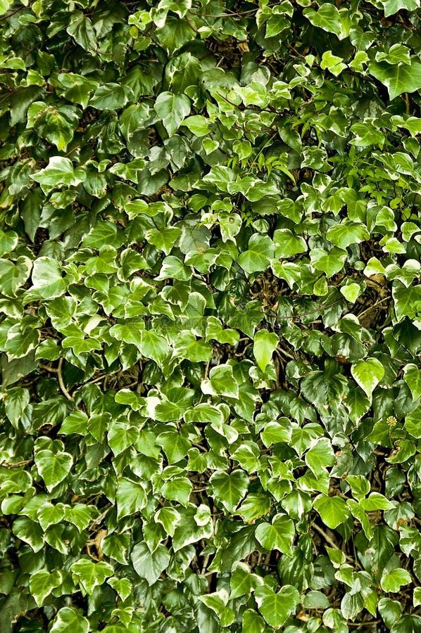 πράσινος κισσός στοκ εικόνες