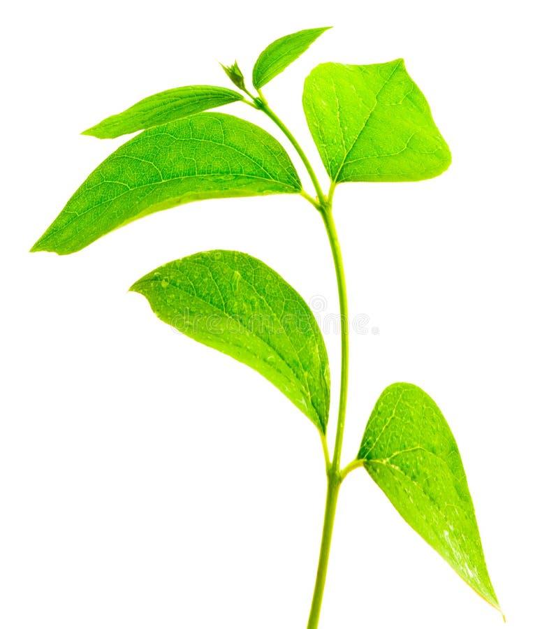 πράσινος κλάδων που απομ&om στοκ φωτογραφία
