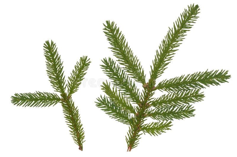 Πράσινος κλαδίσκος δέντρων έλατου που απομονώνεται στο άσπρο υπόβαθρο στοκ φωτογραφία με δικαίωμα ελεύθερης χρήσης