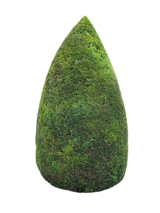 Πράσινος κλαδευμένος θάμνος thuja στοκ εικόνα με δικαίωμα ελεύθερης χρήσης