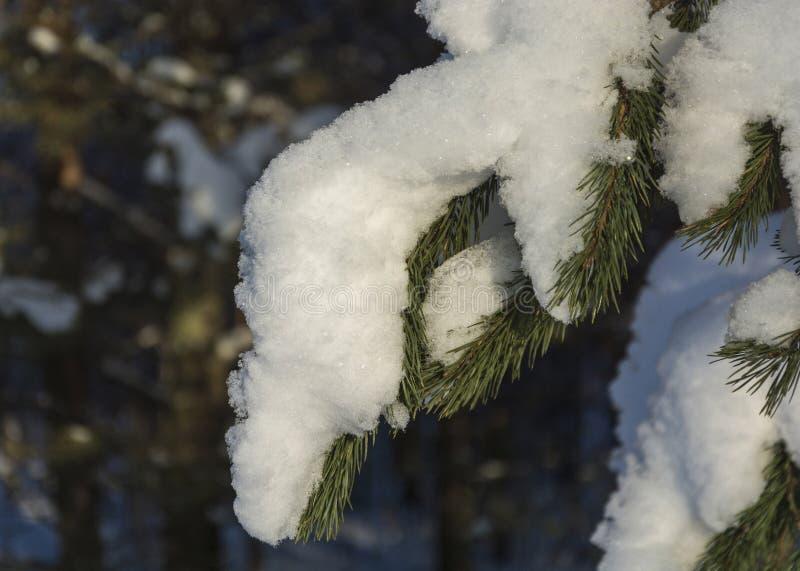 Πράσινος κωνοφόρος κλάδος που καλύπτεται με το χιόνι, πυροβοληθείσα κινηματογράφηση σε πρώτο πλάνο στοκ εικόνα