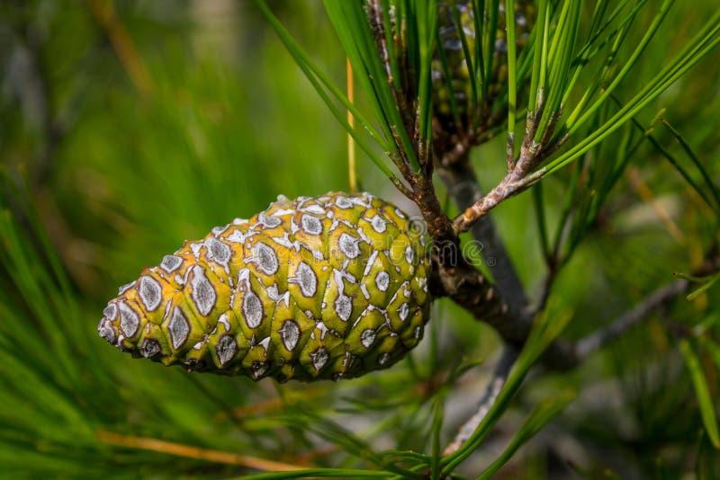 Πράσινος κώνος πεύκων σε ένα δέντρο πεύκων στις άγρια περιοχές στοκ εικόνα