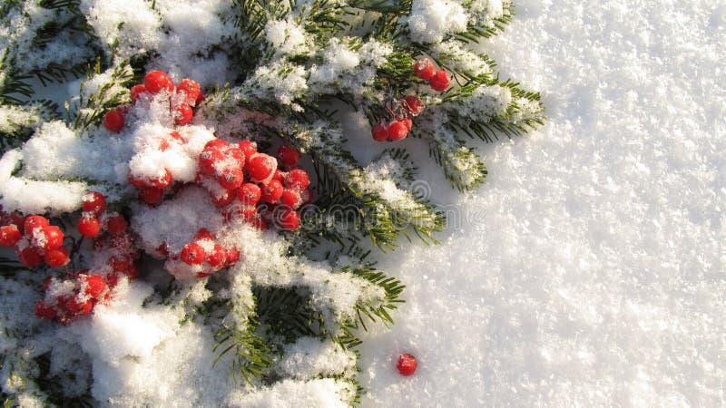 Πράσινος κλάδος χειμερινού υποβάθρου και κόκκινα μούρα που καλύπτονται με το χιόνι στοκ εικόνα με δικαίωμα ελεύθερης χρήσης