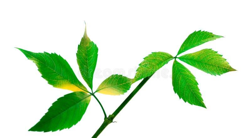 Πράσινος κλαδίσκος των φύλλων σταφυλιών (φύλλωμα quinquefolia Parthenocissus στοκ φωτογραφία με δικαίωμα ελεύθερης χρήσης