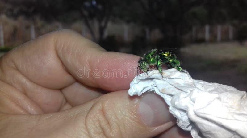 Πράσινος μεταλλικός εντόμων στοκ φωτογραφίες