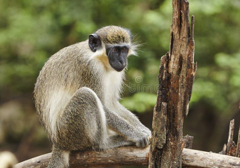 Πράσινος πίθηκος των Μπαρμπάντος στοκ φωτογραφία με δικαίωμα ελεύθερης χρήσης