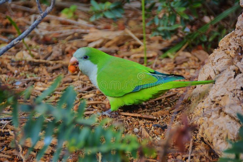 Πράσινος παπαγάλος που κρατά έναν σπόρο στο ράμφος στο δασικό πάτωμα στοκ εικόνες