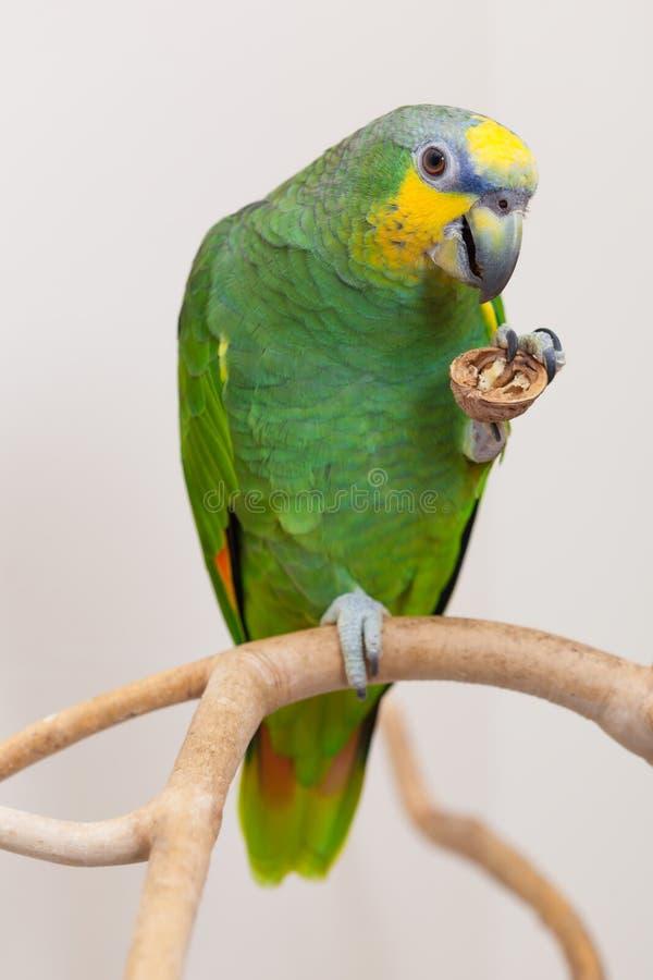 Πράσινος παπαγάλος του Αμαζονίου που τρώει ένα καρύδι κοντά επάνω στοκ φωτογραφία με δικαίωμα ελεύθερης χρήσης