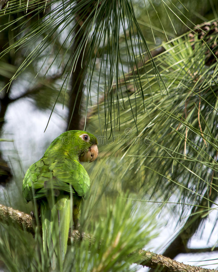 Πράσινος παπαγάλος στοκ φωτογραφία με δικαίωμα ελεύθερης χρήσης