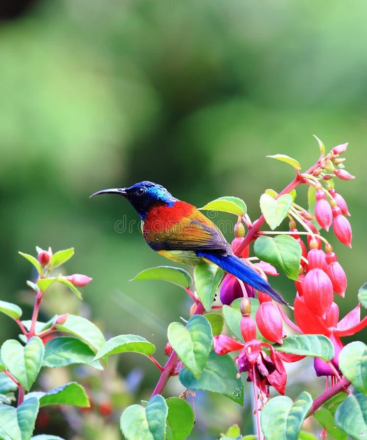 Πράσινος-παρακολουθημένο Sunbird στοκ φωτογραφία με δικαίωμα ελεύθερης χρήσης