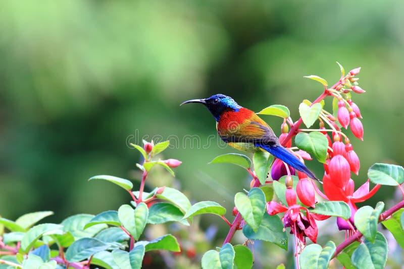 Πράσινος-παρακολουθημένο Sunbird στοκ εικόνες