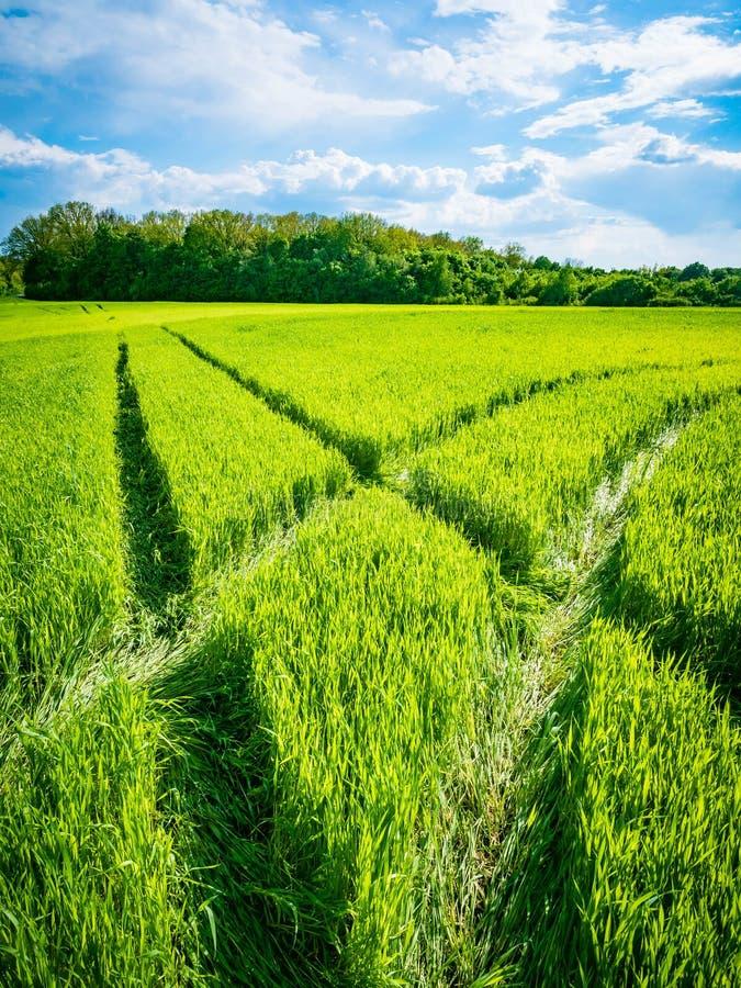 πράσινος σίτος πεδίων Δρόμος σε έναν πράσινο τομέα του σίτου Ίχνη γεωργικής μεταφοράς στη χλόη μια ηλιόλουστη ημέρα στοκ εικόνες