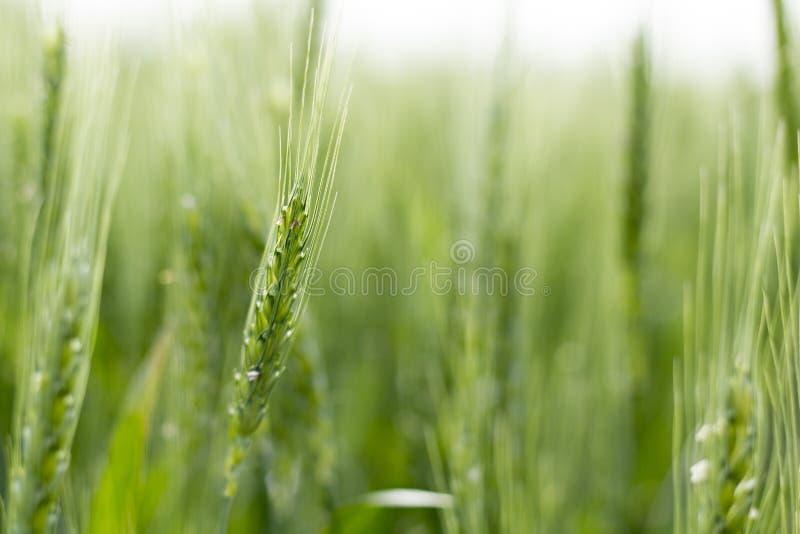 Πράσινος σίτος του Κάνσας στοκ εικόνα με δικαίωμα ελεύθερης χρήσης