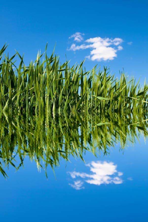 πράσινος σίτος ύδατος κυ στοκ φωτογραφία