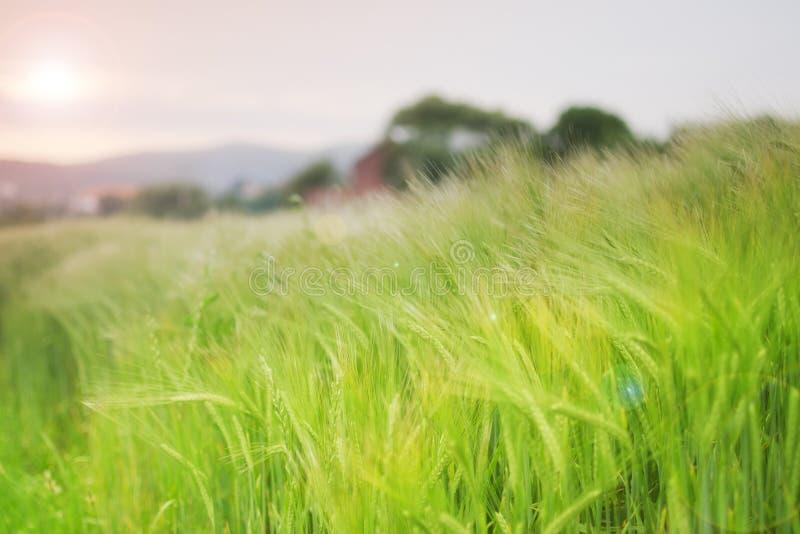 πράσινος σίτος στοκ φωτογραφία