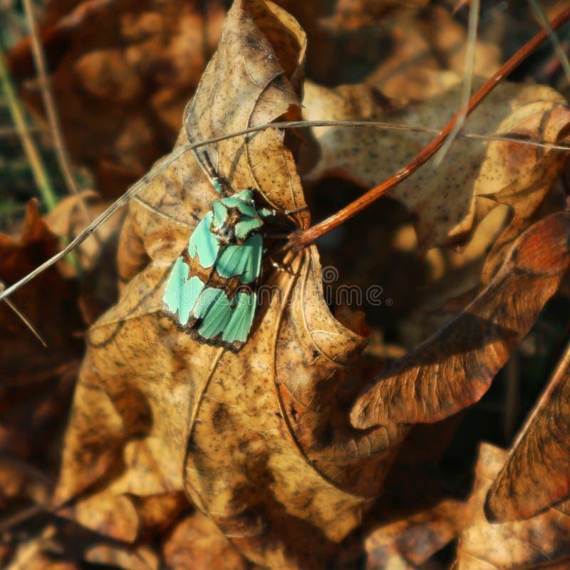 Πράσινος σκώρος στο φύλλο στοκ εικόνα