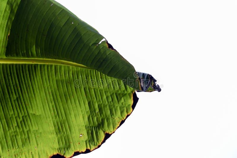 Πράσινος στενός επάνω φύλλων δέντρων μπανανών στοκ εικόνα