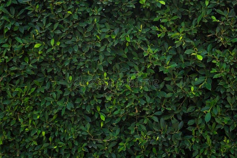 Πράσινος τοίχος δέντρων για το κατασκευασμένο σχέδιο υποβάθρου κινηματογραφήσεων σε πρώτο πλάνο στοκ φωτογραφίες