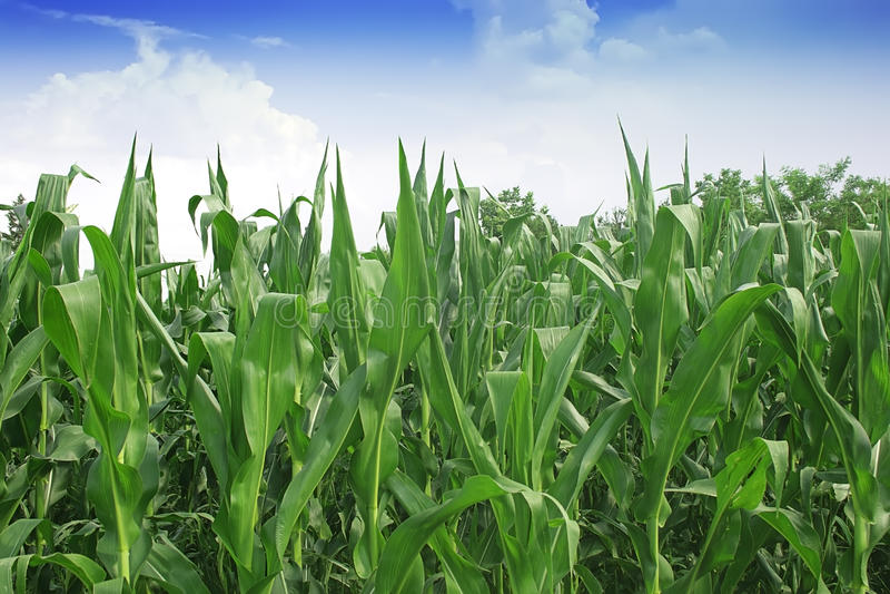 Πράσινος τομέας καλαμποκιού στοκ εικόνα με δικαίωμα ελεύθερης χρήσης