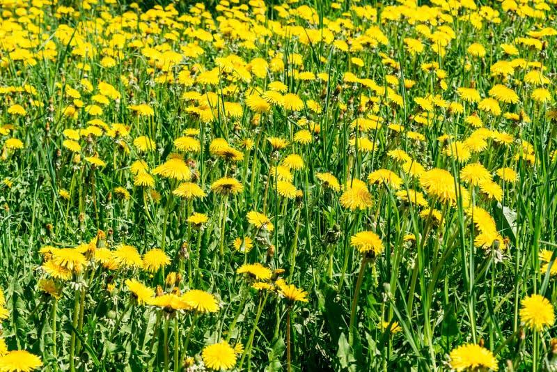 Πράσινος τομέας με τις κίτρινες ανθίζοντας πικραλίδες, υπόβαθρο φύσης κινηματογραφήσεων σε πρώτο πλάνο στοκ φωτογραφίες