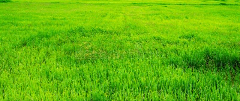 Πράσινος τομέας ρυζιού φύσης terraced Αγροτικό ρύζι ανάπτυξης ζωής γεωργί στοκ φωτογραφίες