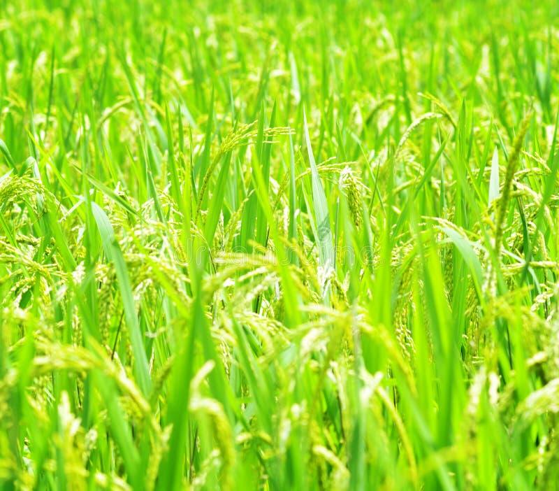 Πράσινος τομέας ρυζιού. στοκ φωτογραφίες με δικαίωμα ελεύθερης χρήσης