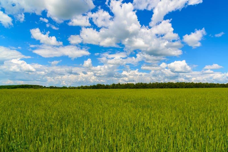 Πράσινος τομέας σίτου κάτω από τον όμορφο νεφελώδη ουρανό στοκ εικόνες