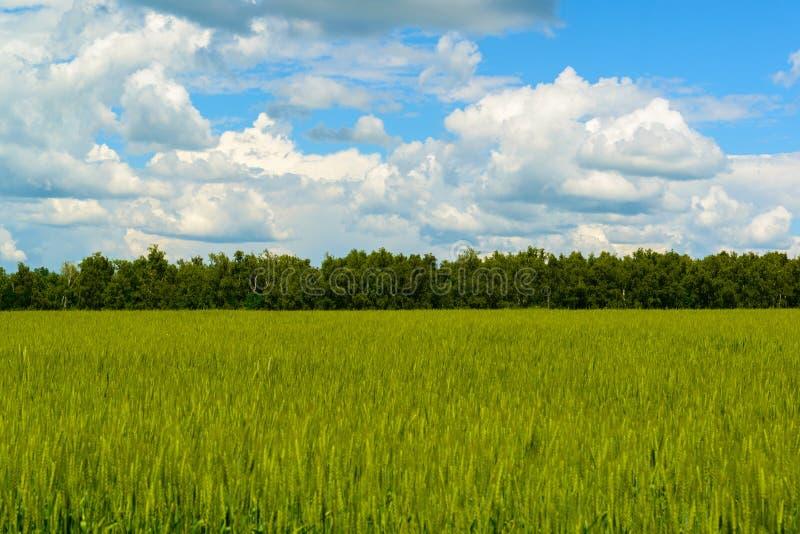 Πράσινος τομέας σίτου κάτω από τον όμορφο νεφελώδη ουρανό στοκ εικόνα