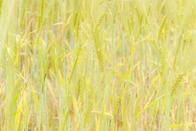 Πράσινος τομέας σίτου και ηλιόλουστη ημέρα διάνυσμα πεδίων αυτιών illustratoin στοκ φωτογραφία με δικαίωμα ελεύθερης χρήσης