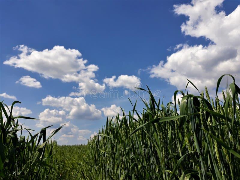 Πράσινος τομέας σίτου και όμορφος νεφελώδης ουρανός στοκ φωτογραφία