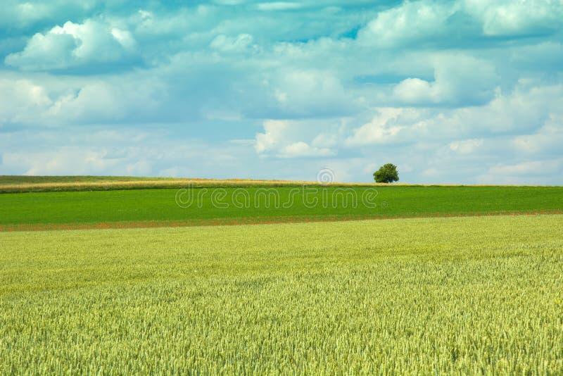Πράσινος τομέας σίτου, μόνα δέντρο και σύννεφα στον ουρανό στοκ εικόνες