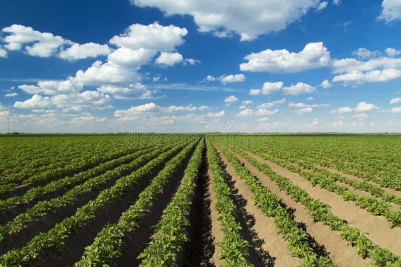Πράσινος τομέας της πατάτας στοκ φωτογραφία με δικαίωμα ελεύθερης χρήσης