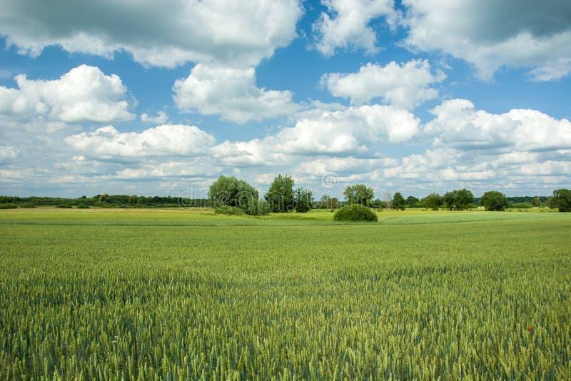 Πράσινος τομέας του σίτου και των σύννεφων στον ουρανό στοκ εικόνες