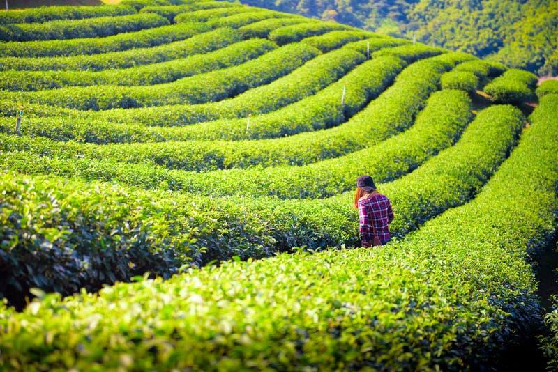 Πράσινος τομέας τσαγιού στο rai Chiang, Ταϊλάνδη στοκ φωτογραφίες