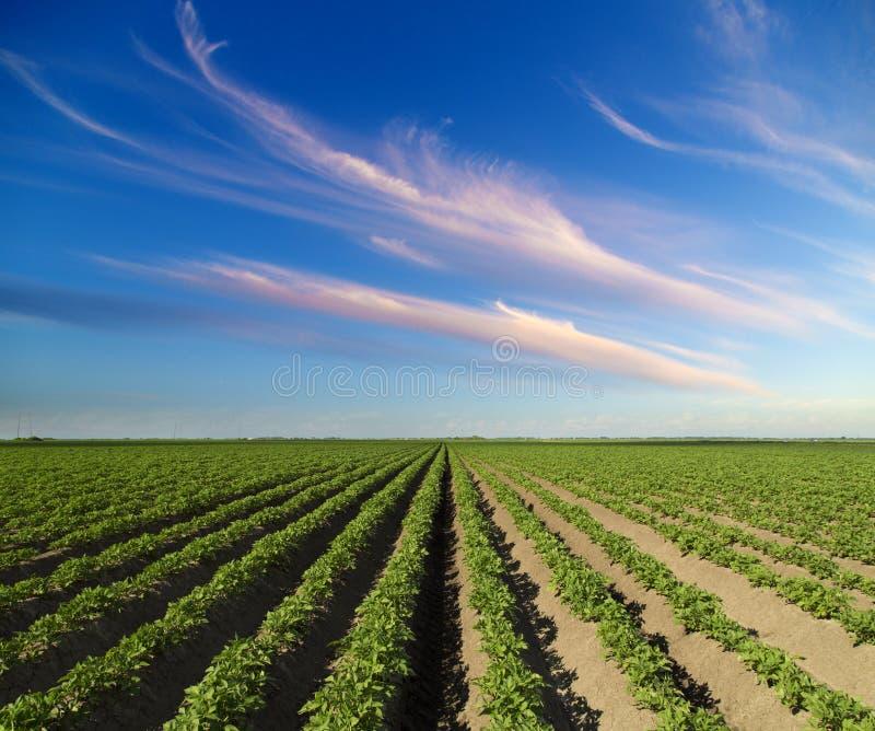 Πράσινος τομέας των συγκομιδών πατατών στοκ φωτογραφία με δικαίωμα ελεύθερης χρήσης