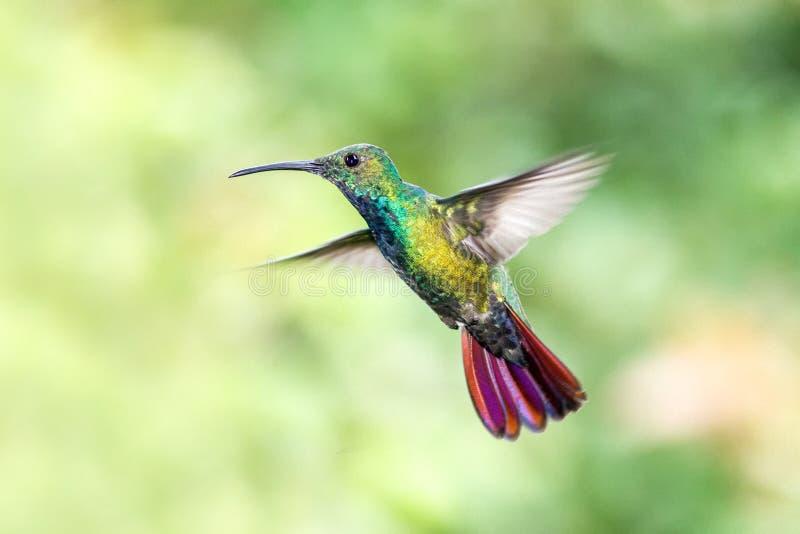 Πράσινος-το μάγκο, που αιωρείται δίπλα στο λουλούδι στον κήπο, πουλί από το τροπικό δάσος βουνών, Κόστα Ρίκα, φυσικός βιότοπος, ό στοκ εικόνες