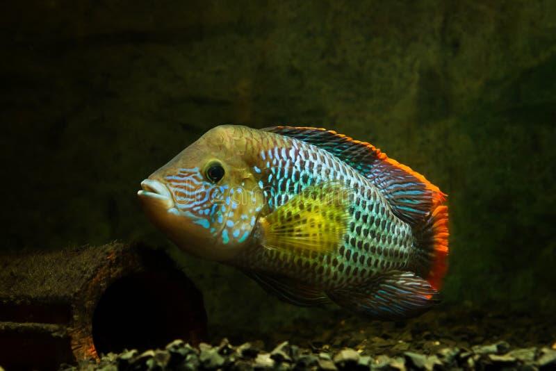 Πράσινος τρόμος, Andinoacara rivulatus, αρσενικό με εντυπωσιακά αναπαραγωγικά χρώματα, δημοφιλή διακοσμητικά Cichlidae ψάρια στη  στοκ φωτογραφία με δικαίωμα ελεύθερης χρήσης
