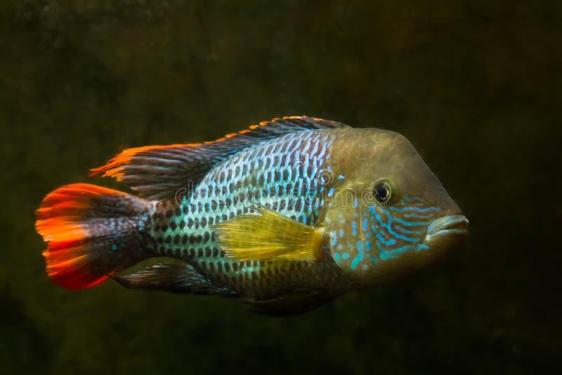 Πράσινος τρόμος, Andinoacara rivulatus, αρσενικό σε φωτεινά χρώματα αναπαραγωγής, δημοφιλή κατοικίδια διακοσμητικά Cichlidae ψάρι στοκ φωτογραφίες με δικαίωμα ελεύθερης χρήσης