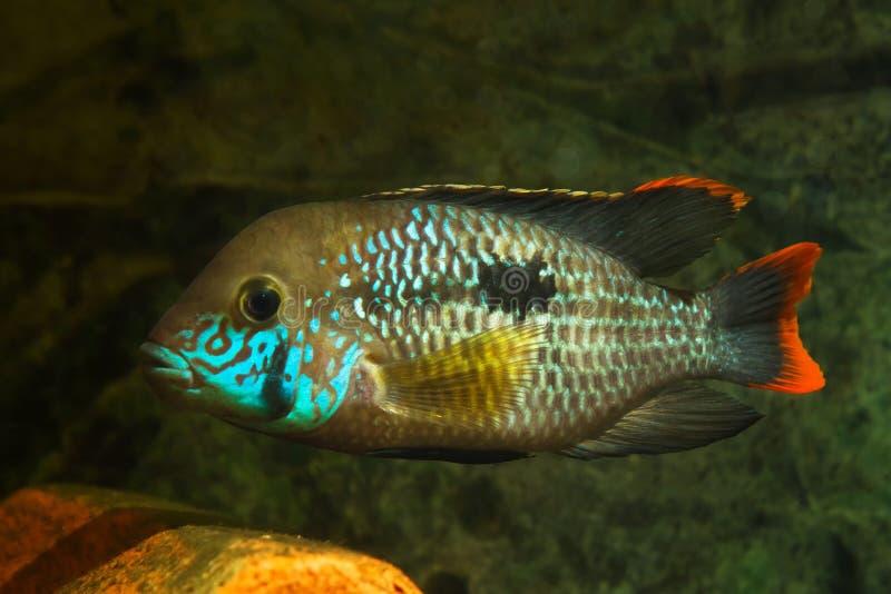 Πράσινος τρόμος, Andinoacara rivulatus, ενεργά εκπληκτικά έγχρωμη γυναίκα, δημοφιλές διακοσμητικό ψάρι Cichlidae, αγαπημένο είδος στοκ εικόνα